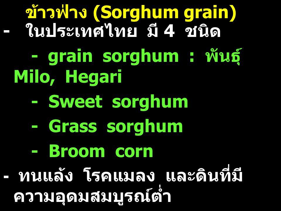 ข้าวฟ่าง (Sorghum grain)