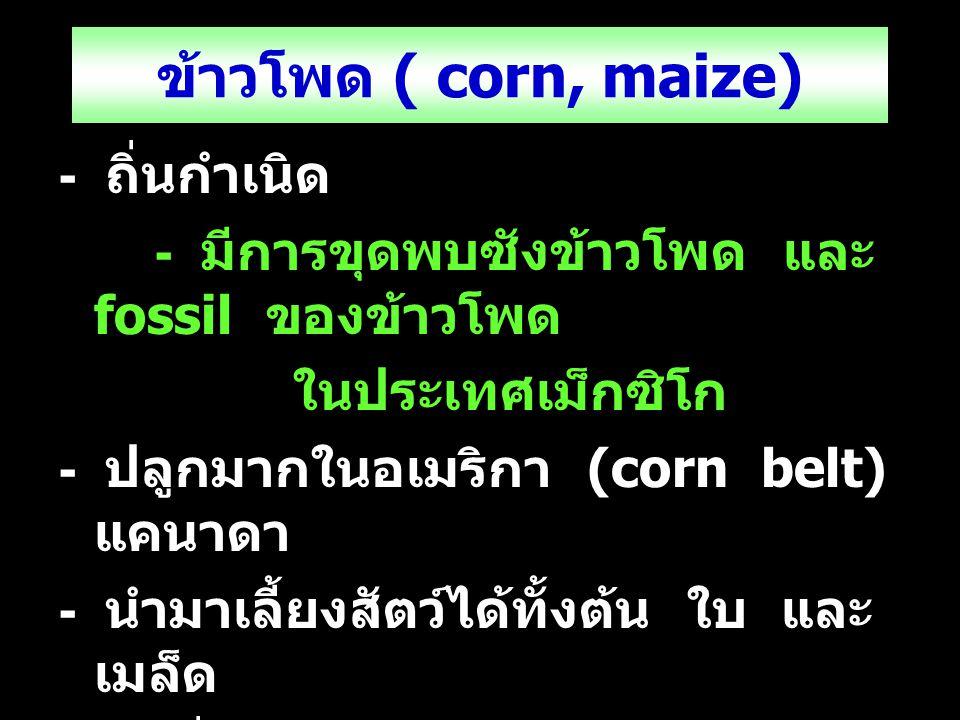ข้าวโพด ( corn, maize) - ถิ่นกำเนิด