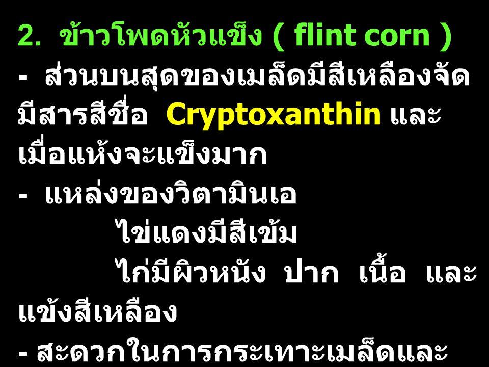2. ข้าวโพดหัวแข็ง ( flint corn )