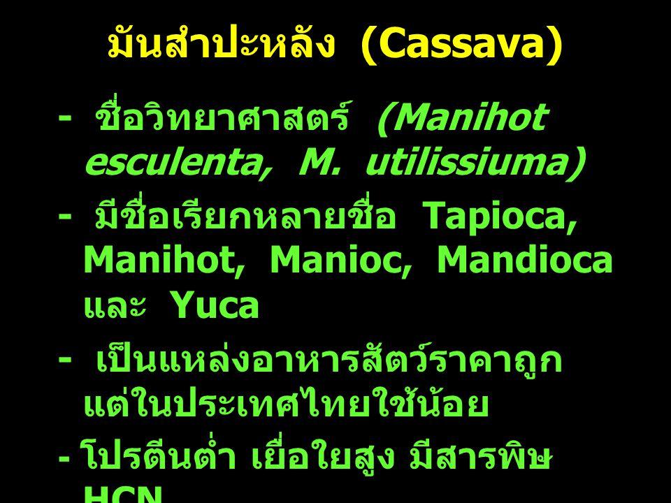 มันสำปะหลัง (Cassava)