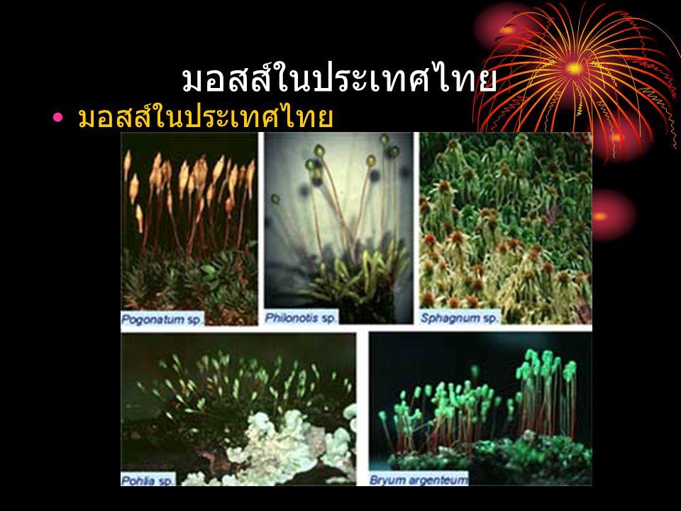 มอสส์ในประเทศไทย มอสส์ในประเทศไทย