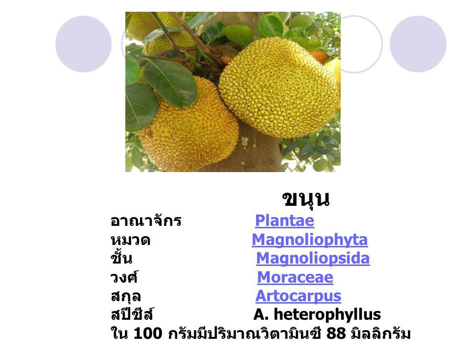 ขนุน อาณาจักร Plantae หมวด Magnoliophyta ชั้น Magnoliopsida