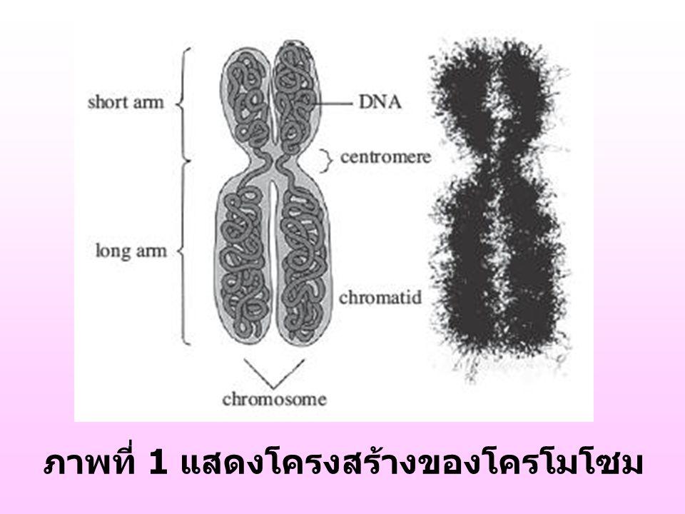 ภาพที่ 1 แสดงโครงสร้างของโครโมโซม