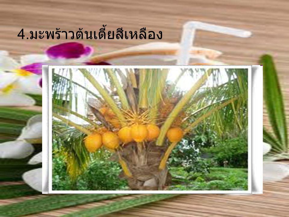4.มะพร้าวต้นเตี้ยสีเหลือง
