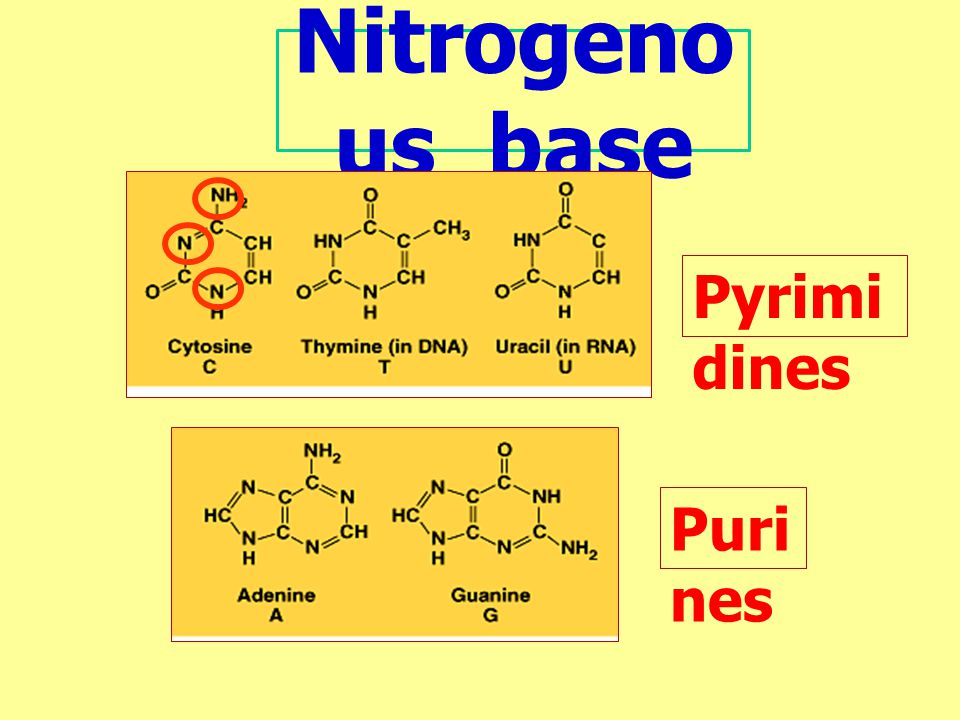 Nitrogenous base Pyrimidines Purines