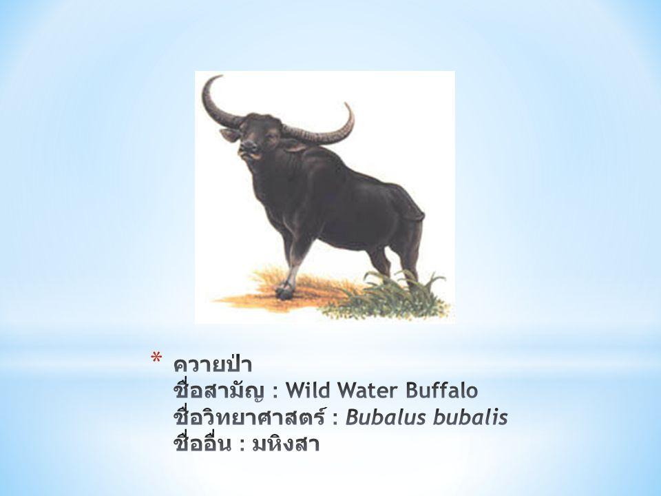 ควายป่า ชื่อสามัญ : Wild Water Buffalo ชื่อวิทยาศาสตร์ : Bubalus bubalis ชื่ออื่น : มหิงสา