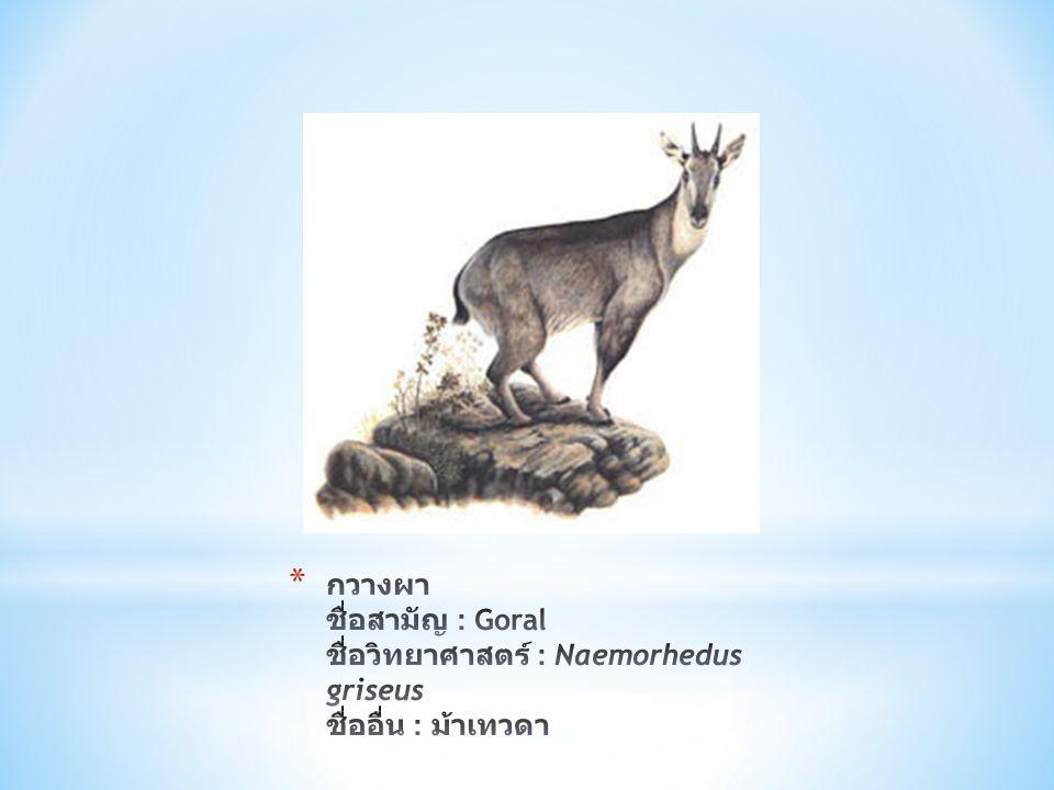 กวางผา ชื่อสามัญ : Goral ชื่อวิทยาศาสตร์ : Naemorhedus griseus ชื่ออื่น : ม้าเทวดา
