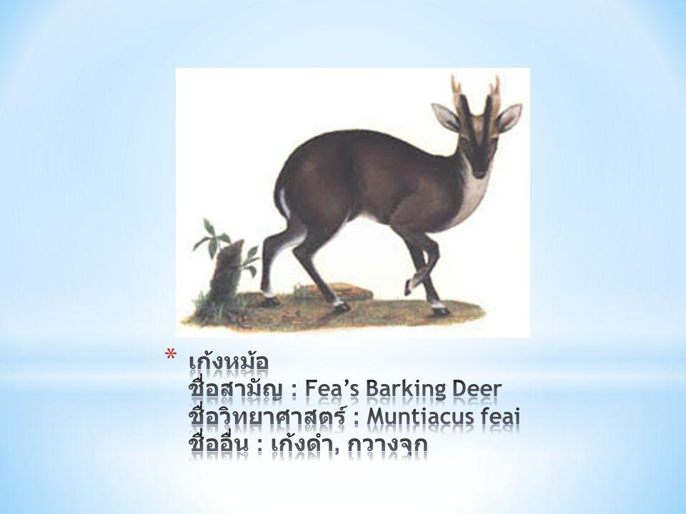 เก้งหม้อ ชื่อสามัญ : Fea's Barking Deer ชื่อวิทยาศาสตร์ : Muntiacus feai ชื่ออื่น : เก้งดำ, กวางจุก