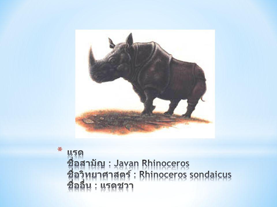 แรด ชื่อสามัญ : Javan Rhinoceros ชื่อวิทยาศาสตร์ : Rhinoceros sondaicus ชื่ออื่น : แรดชวา