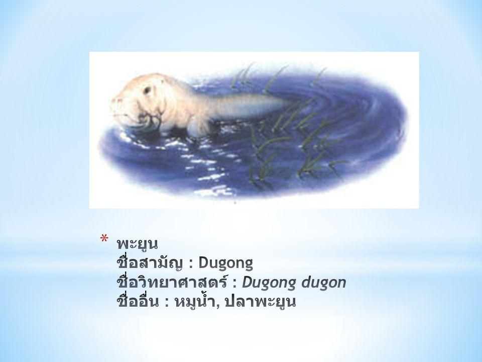 พะยูน ชื่อสามัญ : Dugong ชื่อวิทยาศาสตร์ : Dugong dugon ชื่ออื่น : หมูน้ำ, ปลาพะยูน