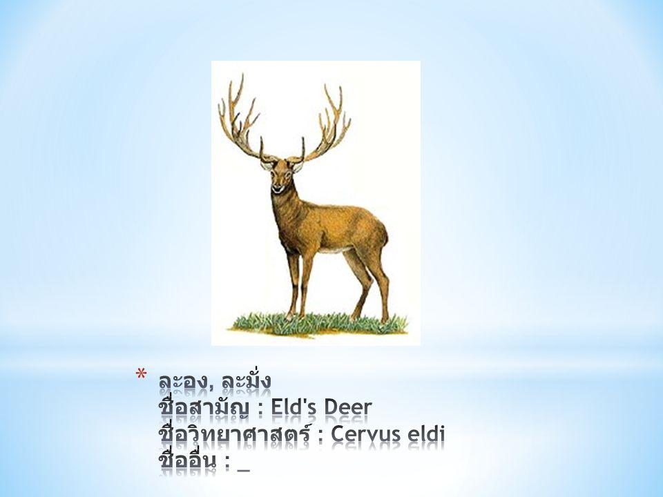 ละอง, ละมั่ง ชื่อสามัญ : Eld s Deer ชื่อวิทยาศาสตร์ : Cervus eldi ชื่ออื่น : _