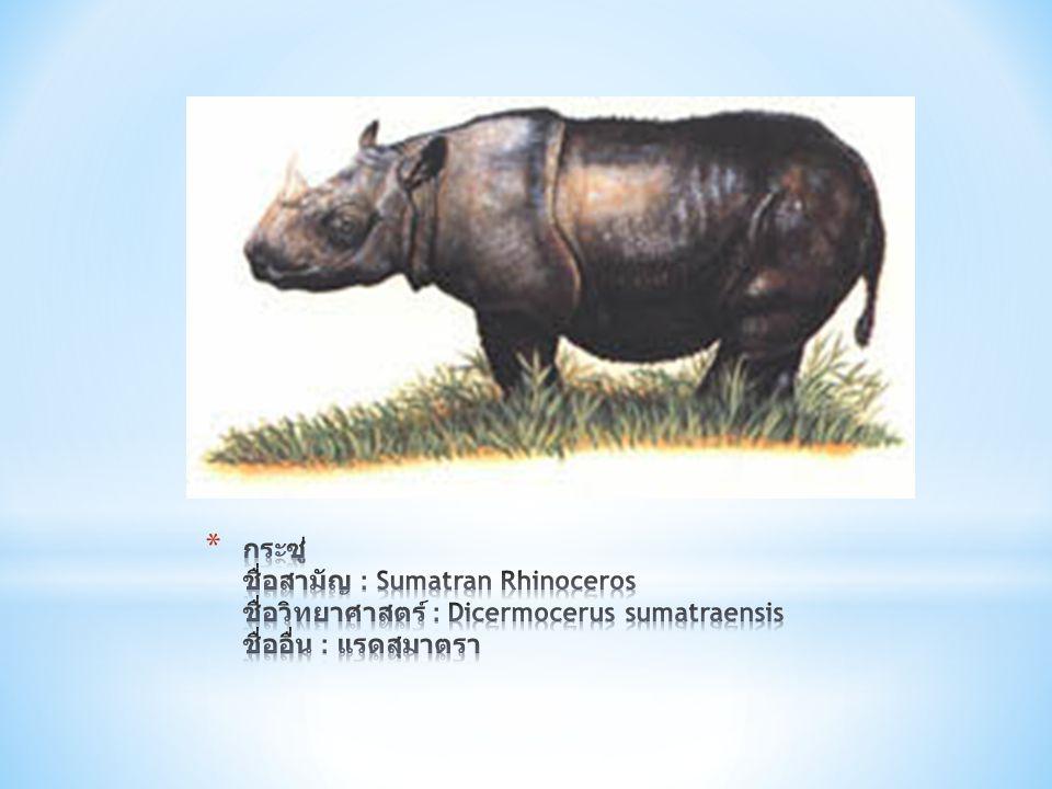 กระซู่ ชื่อสามัญ : Sumatran Rhinoceros ชื่อวิทยาศาสตร์ : Dicermocerus sumatraensis ชื่ออื่น : แรดสุมาตรา