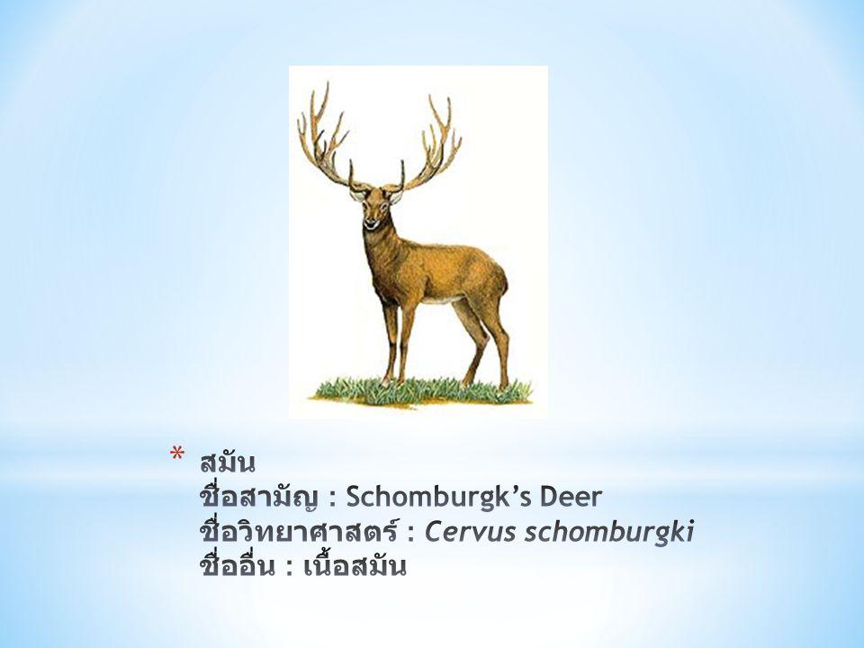 สมัน ชื่อสามัญ : Schomburgk's Deer ชื่อวิทยาศาสตร์ : Cervus schomburgki ชื่ออื่น : เนื้อสมัน