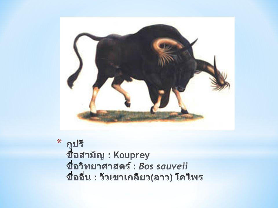 กูปรี ชื่อสามัญ : Kouprey ชื่อวิทยาศาสตร์ : Bos sauveii ชื่ออื่น : วัวเขาเกลียว(ลาว) โคไพร