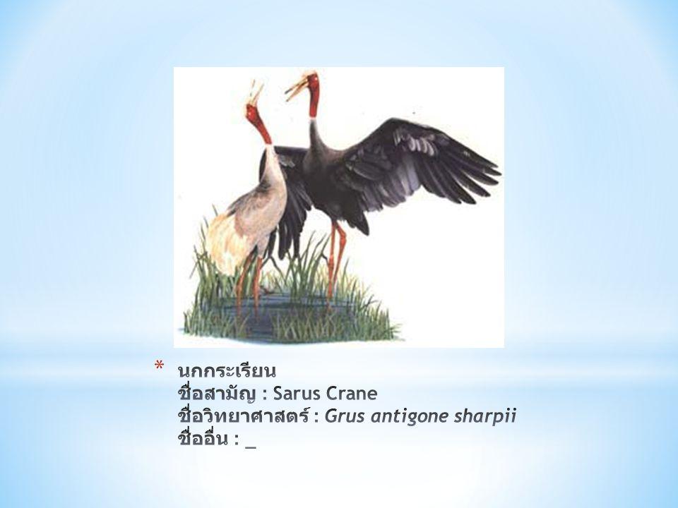 นกกระเรียน ชื่อสามัญ : Sarus Crane ชื่อวิทยาศาสตร์ : Grus antigone sharpii ชื่ออื่น : _