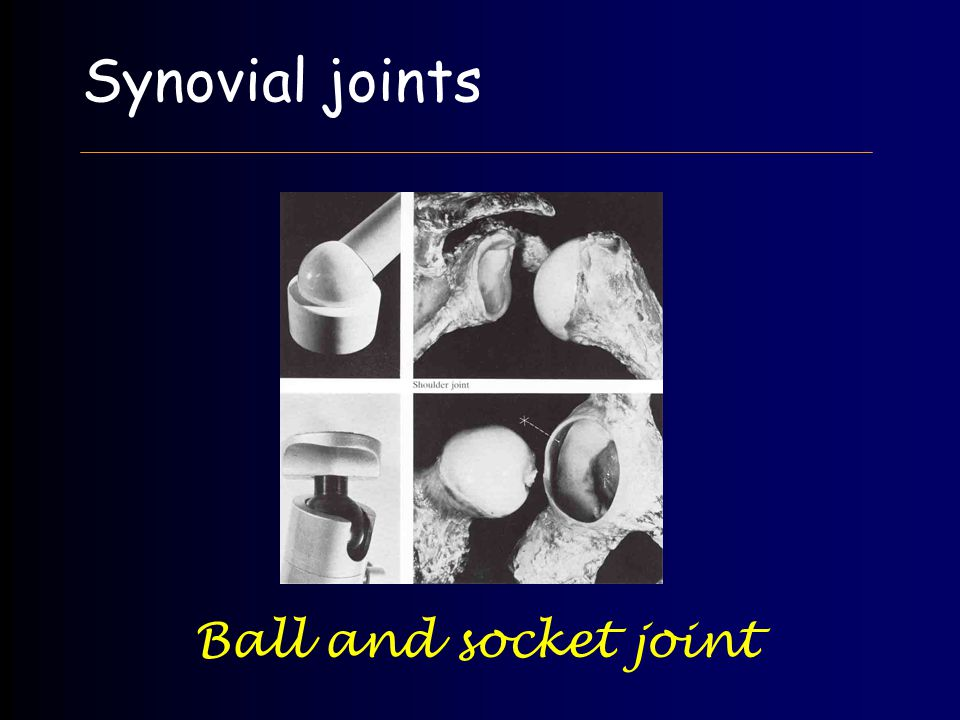 Synovial joints Ball and socket joint