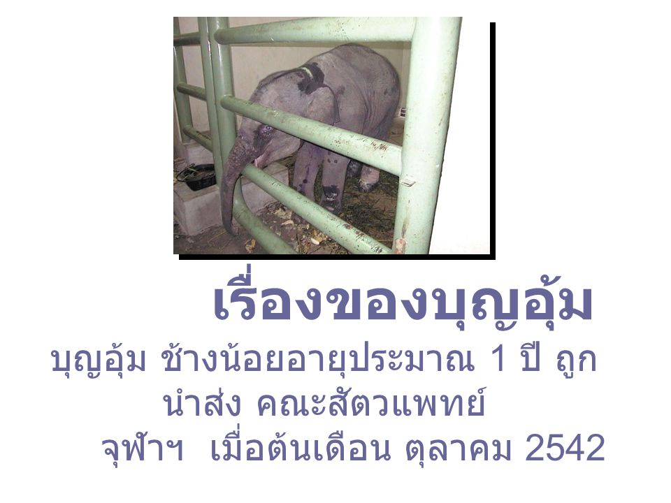 เรื่องของบุญอุ้ม บุญอุ้ม ช้างน้อยอายุประมาณ 1 ปี ถูกนำส่ง คณะสัตวแพทย์