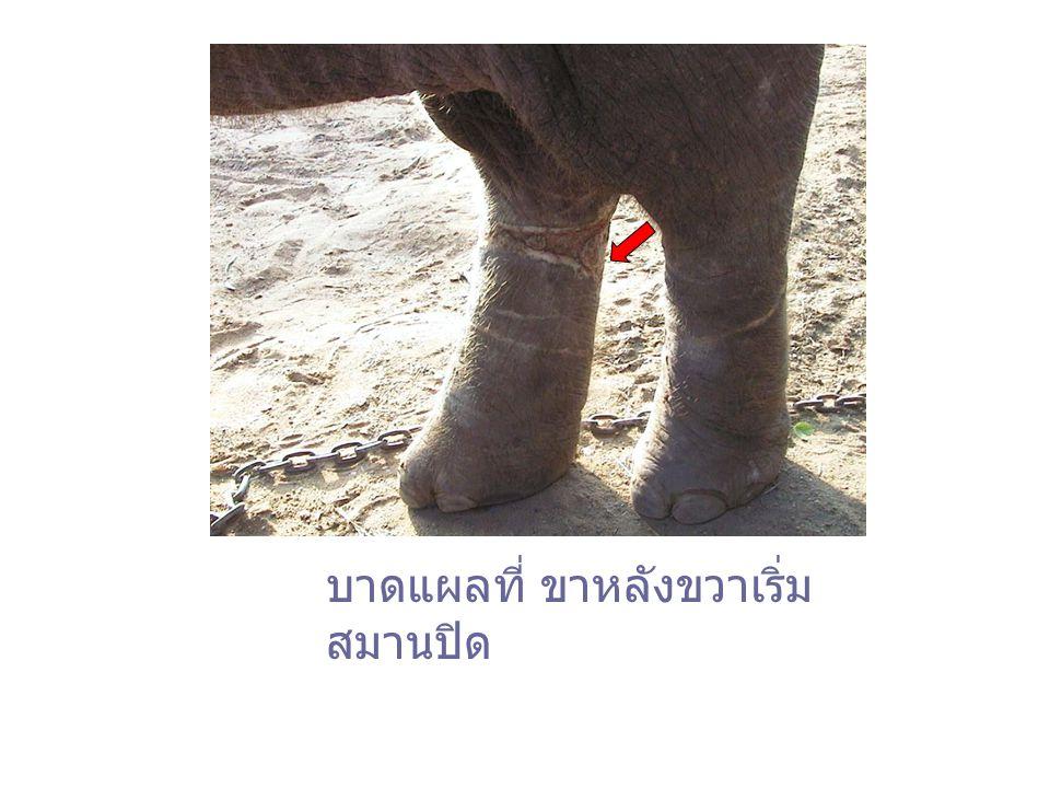 บาดแผลที่ ขาหลังขวาเริ่มสมานปิด