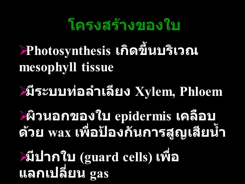 โครงสร้างของใบ Photosynthesis เกิดขึ้นบริเวณ mesophyll tissue