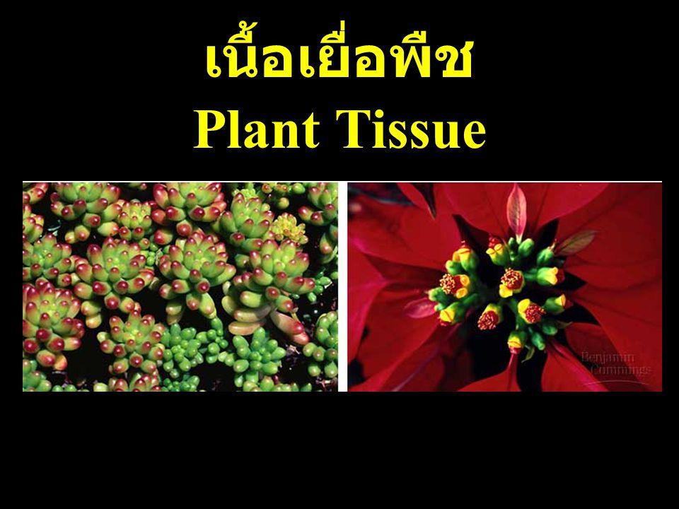 เนื้อเยื่อพืช Plant Tissue