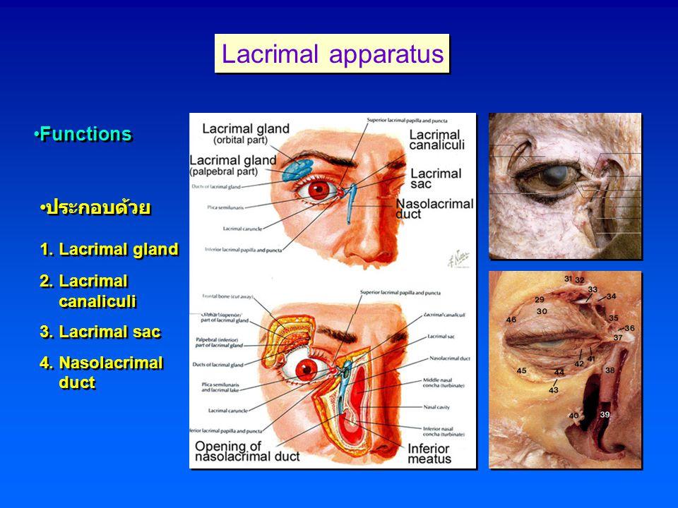 Lacrimal apparatus Functions ประกอบด้วย 1. Lacrimal gland 2. Lacrimal