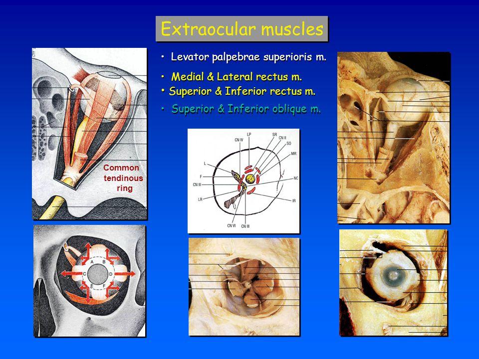 Extraocular muscles Superior & Inferior rectus m.
