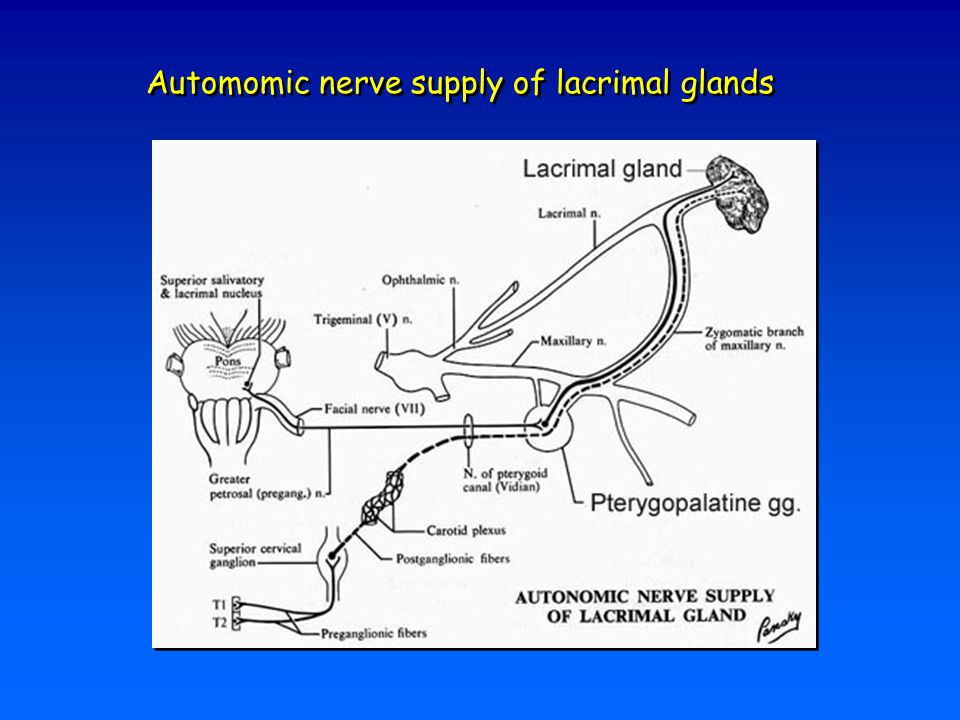 Automomic nerve supply of lacrimal glands
