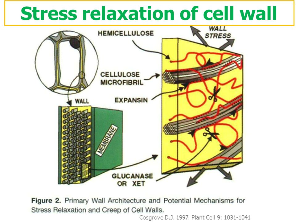 Stress relaxation of cell wall