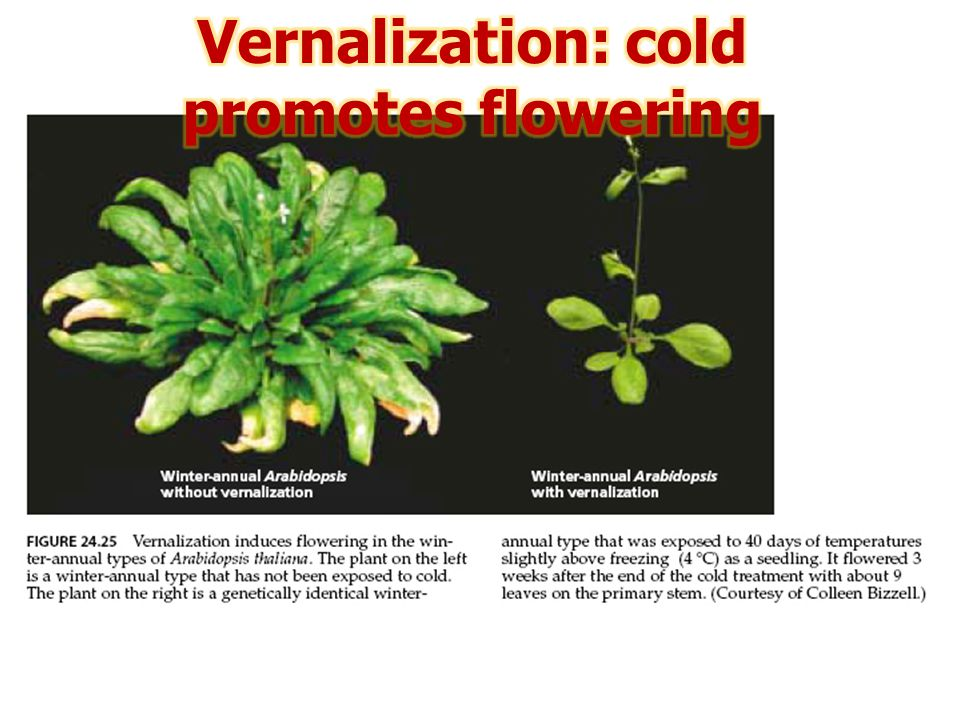 Vernalization: cold promotes flowering