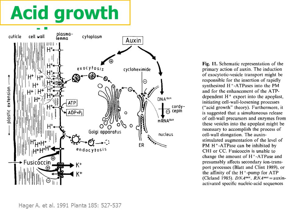 Acid growth theory Hager A. et al. 1991 Planta 185: 527-537.