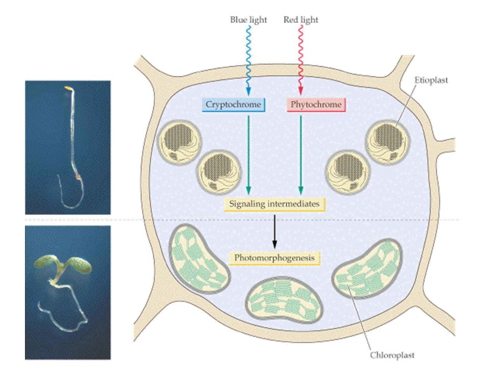 Photoreceptor มีสองกลุ่ม คือ phytochrome และ blue-light receptor