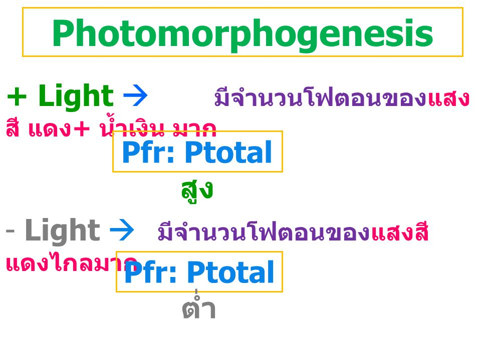 Photomorphogenesis + Light  มีจำนวนโฟตอนของแสงสี แดง+ น้ำเงิน มาก