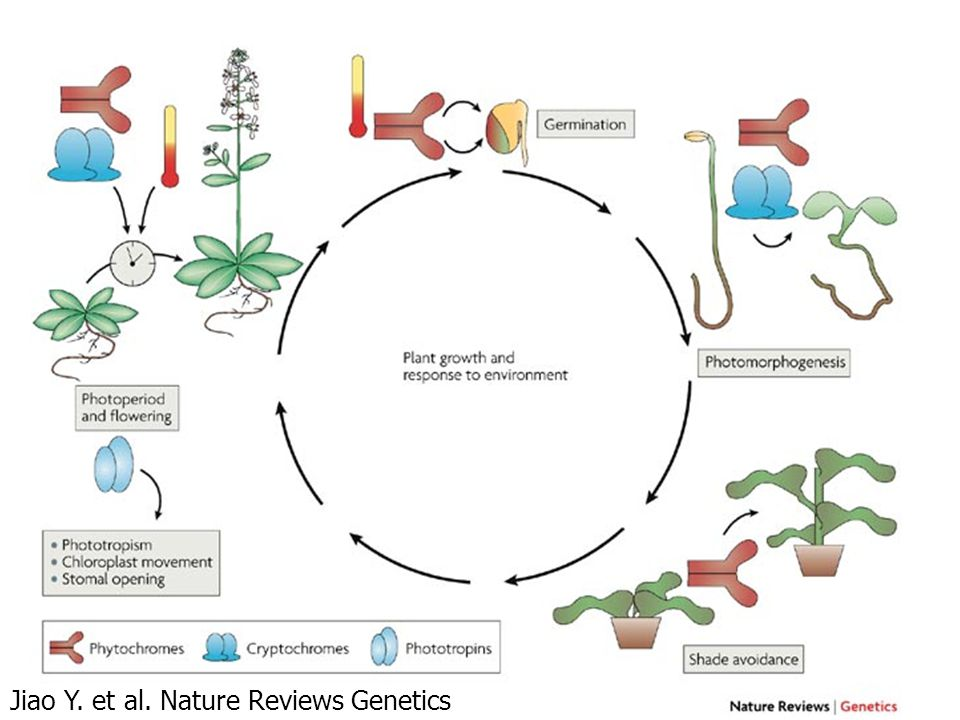 Jiao Y. et al. Nature Reviews Genetics 8, 217-230