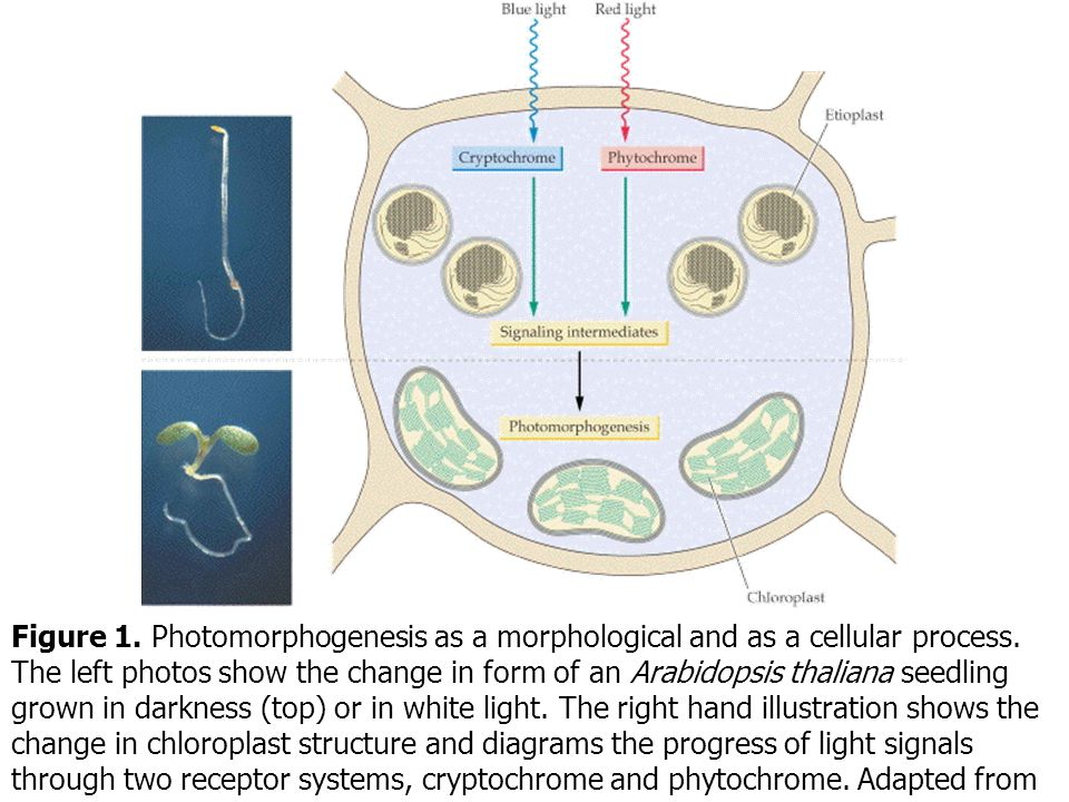 Figure 1. Photomorphogenesis as a morphological and as a cellular process.