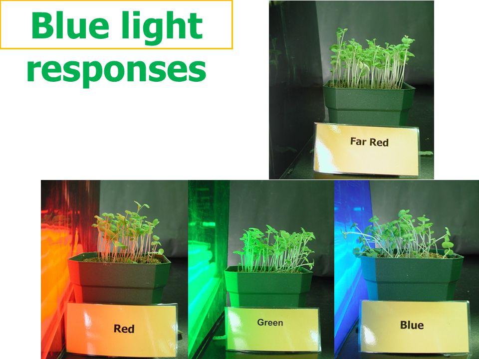 Blue light responses ภาพการทดลอง