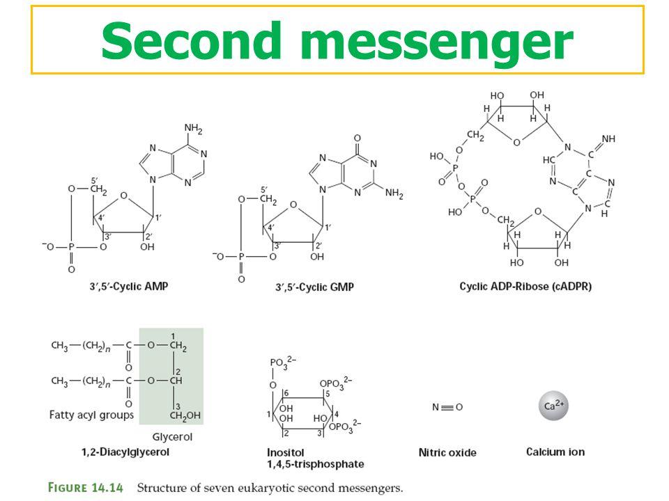 Second messenger ตัวอย่างโมเลกุลที่ทำหน้าที่เป็น second messenger