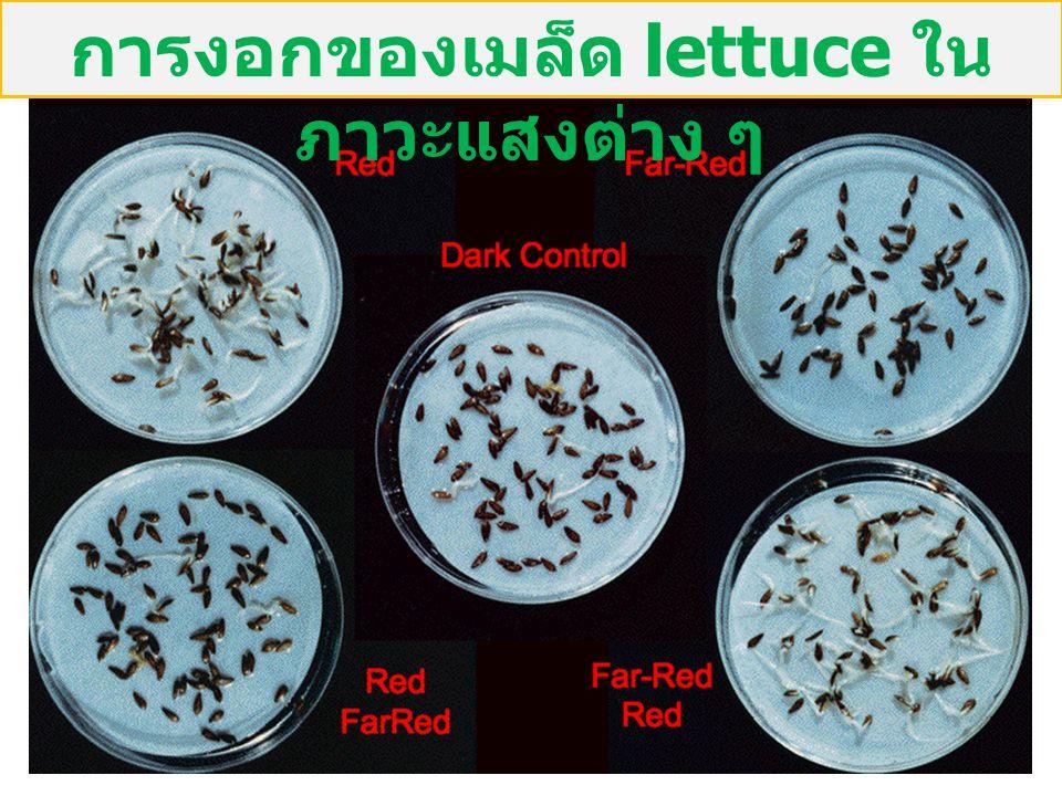การงอกของเมล็ด lettuce ในภาวะแสงต่าง ๆ