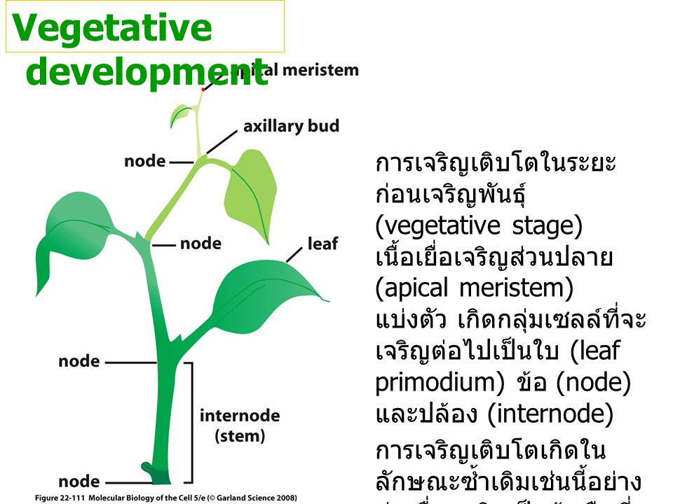 Vegetative development