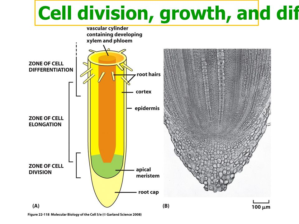 Cell division, growth, and differentiation
