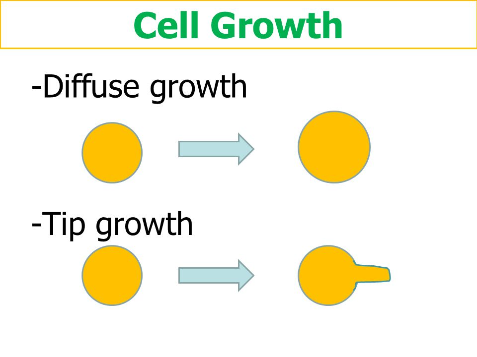 Cell Growth Diffuse growth Tip growth