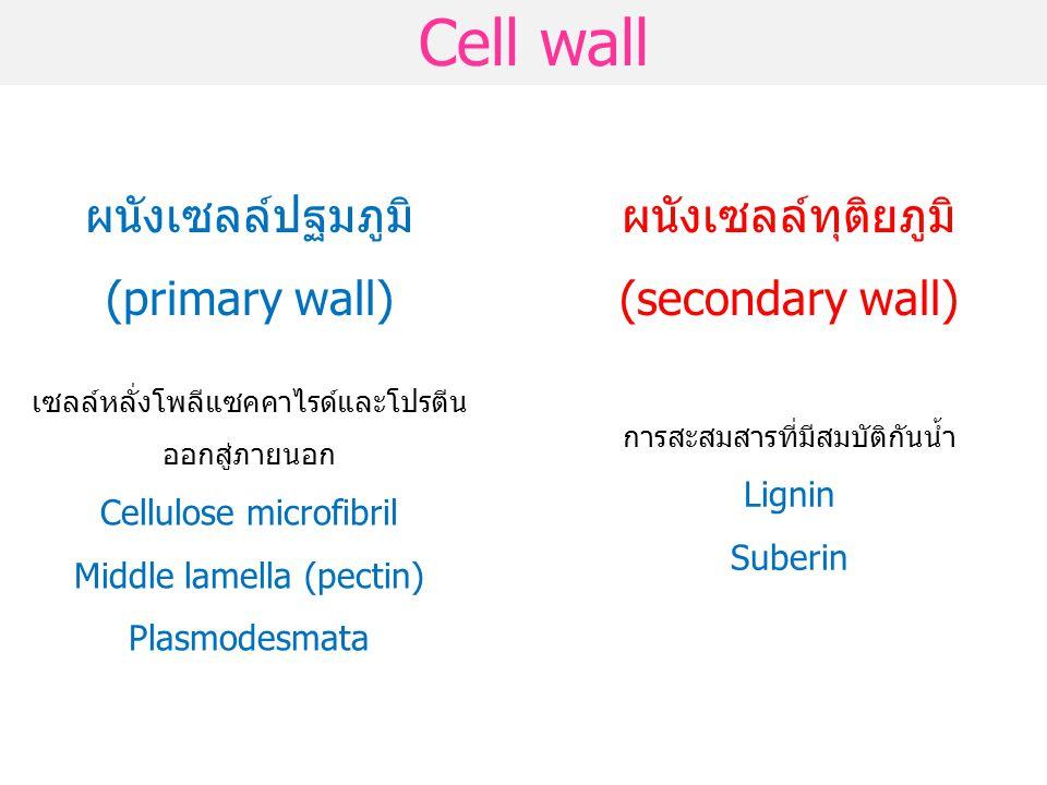 Cell wall ผนังเซลล์ปฐมภูมิ (primary wall)