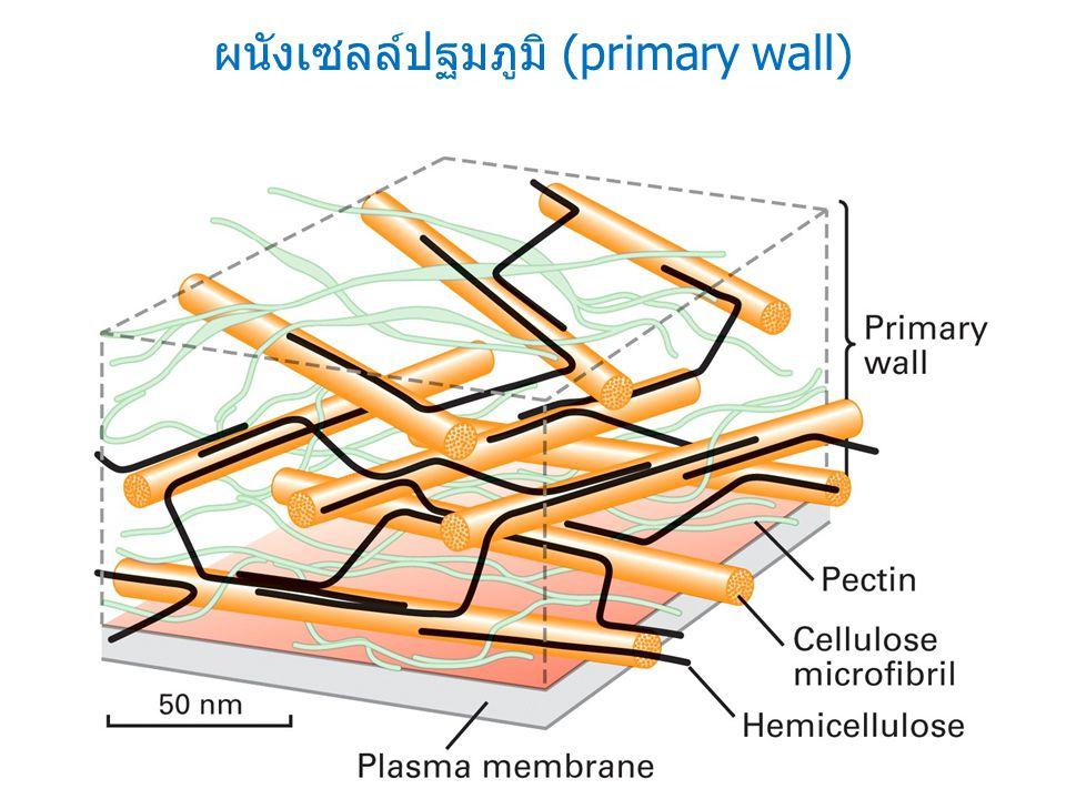 ผนังเซลล์ปฐมภูมิ (primary wall)