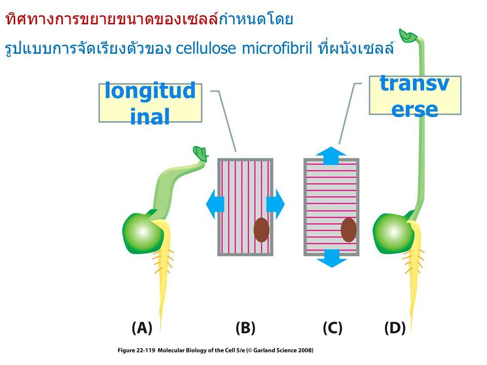 transverse longitudinal