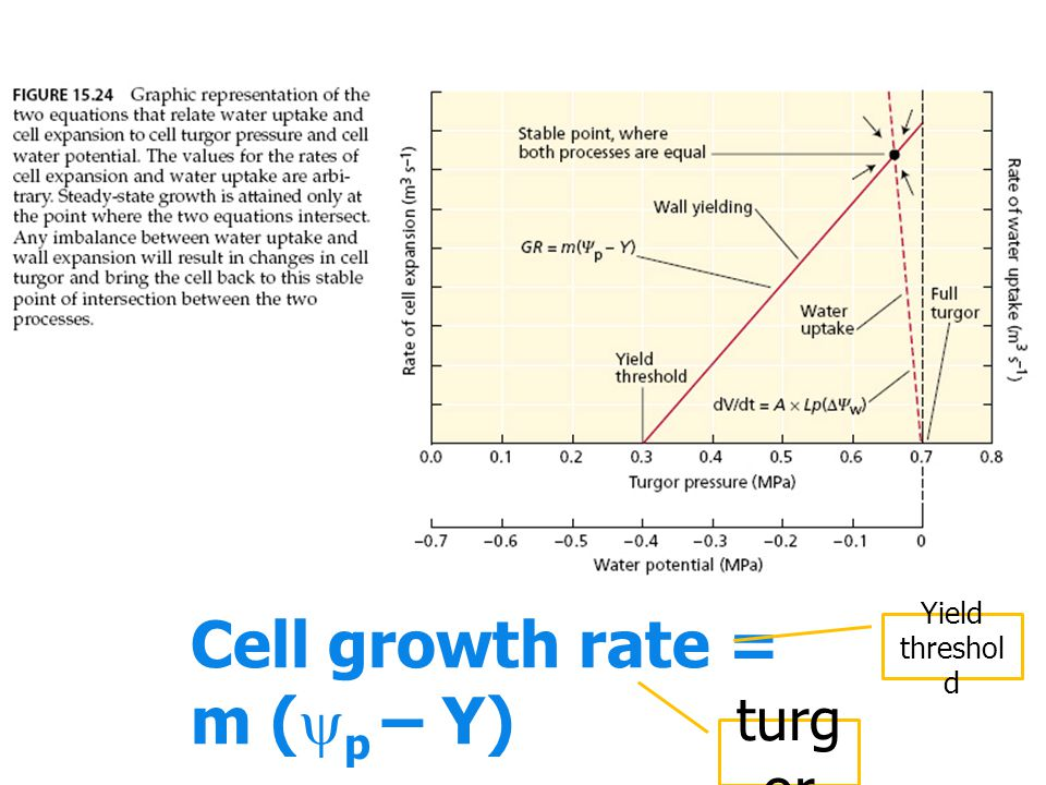 Cell growth rate = m (p – Y)