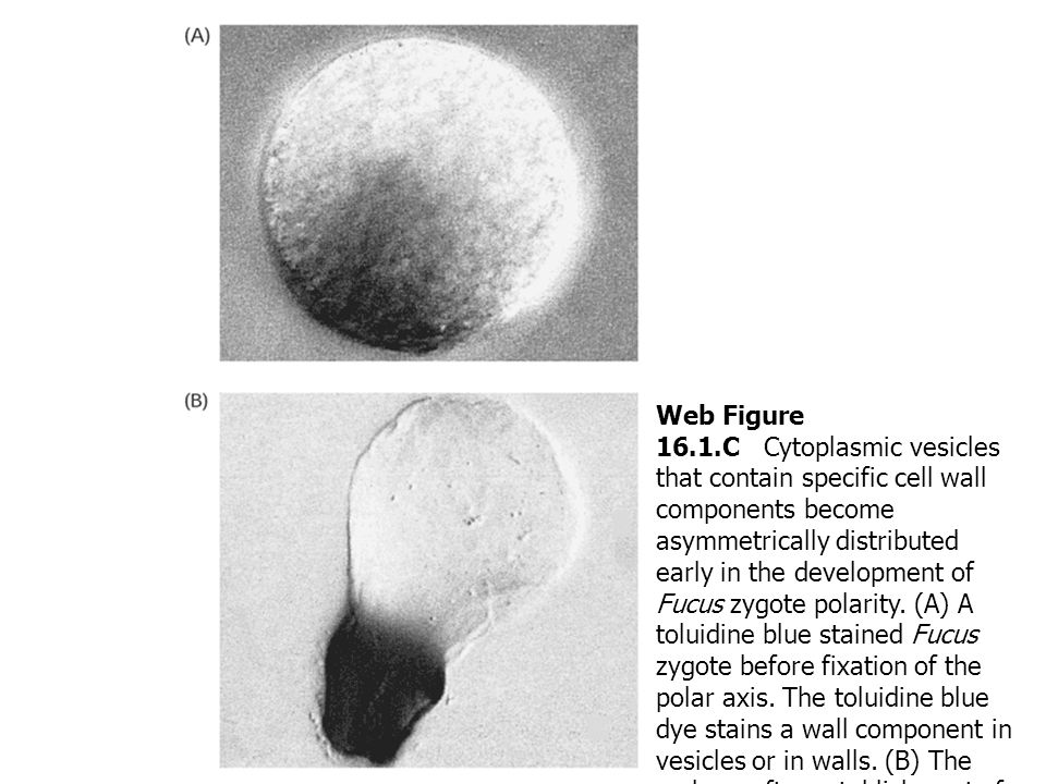 Web Figure 16.1.C Cytoplasmic vesicles that contain specific cell wall components become asymmetrically distributed early in the development of Fucus zygote polarity. (A) A toluidine blue stained Fucus zygote before fixation of the polar axis. The toluidine blue dye stains a wall component in vesicles or in walls. (B) The embryo after establishment of rhizoid–thallus polarity, with toluidine blue staining confined to the cell wall in the rhizoid portion of the embryo. (From Quatrano and Shaw 1997, courtesy of R. S. Quatrano.)