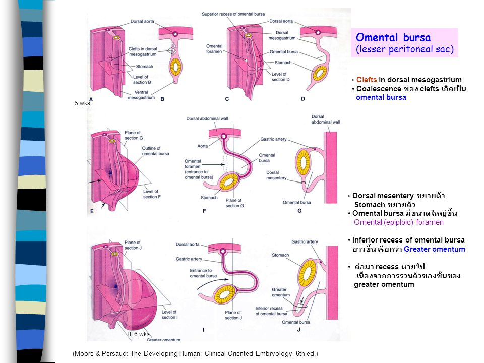 Omental bursa (lesser peritoneal sac) Coalescence ของ clefts เกิดเป็น