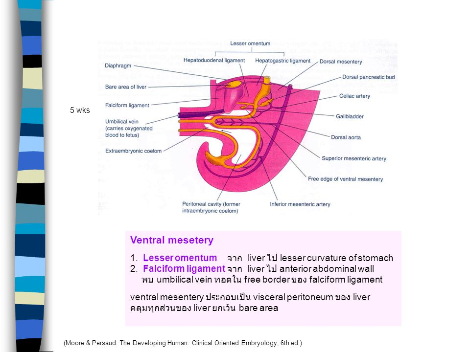 5 wks Ventral mesetery. 1. Lesser omentum จาก liver ไป lesser curvature of stomach.