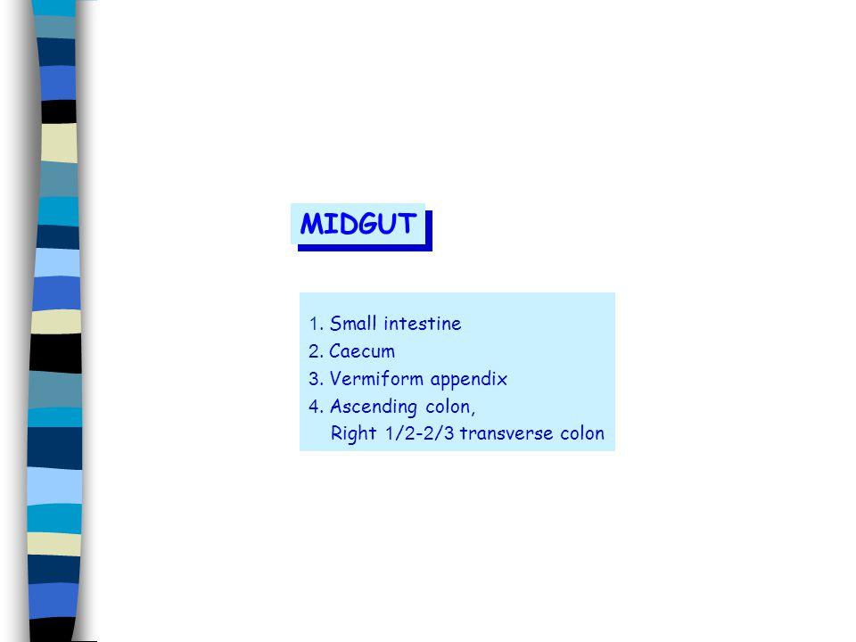 MIDGUT 1. Small intestine 2. Caecum 3. Vermiform appendix