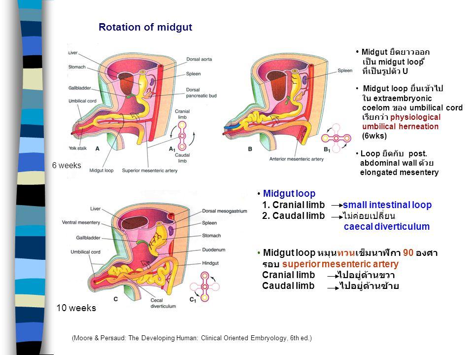 Rotation of midgut Midgut ยืดยาวออก Midgut loop