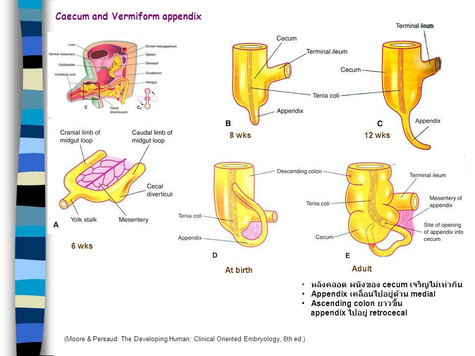 Caecum and Vermiform appendix